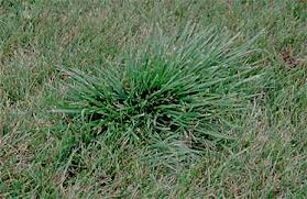 Indianapolis weed control, tall fescue