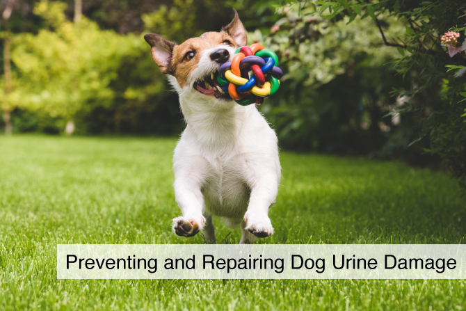 Preventing and Repairing Dog Urine Damage on Your Lawn
