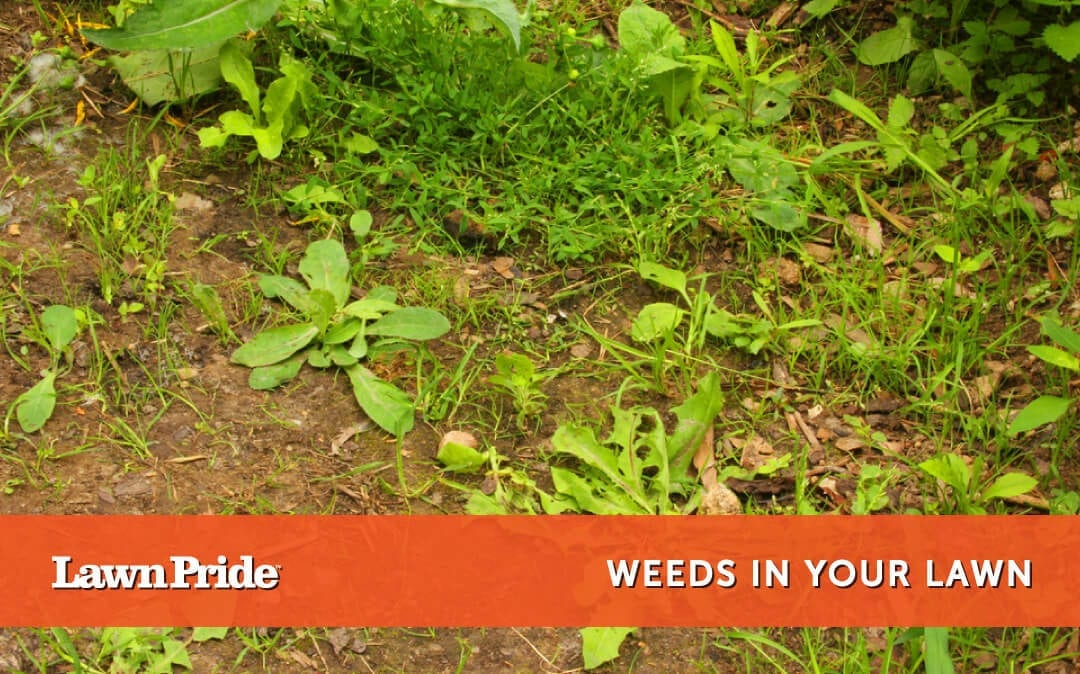 Weeds in your lawn