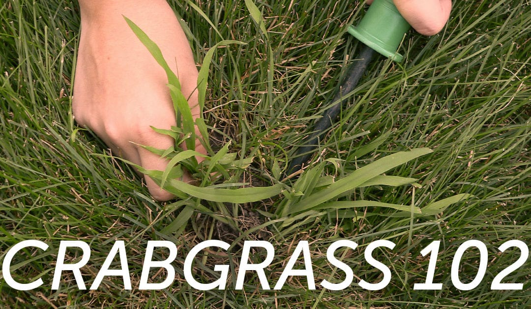 Crabgrass 102: What Happens When Crabgrass Germinates in the Summer