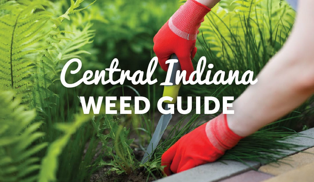 A Quick Guide to Common Indiana Weeds