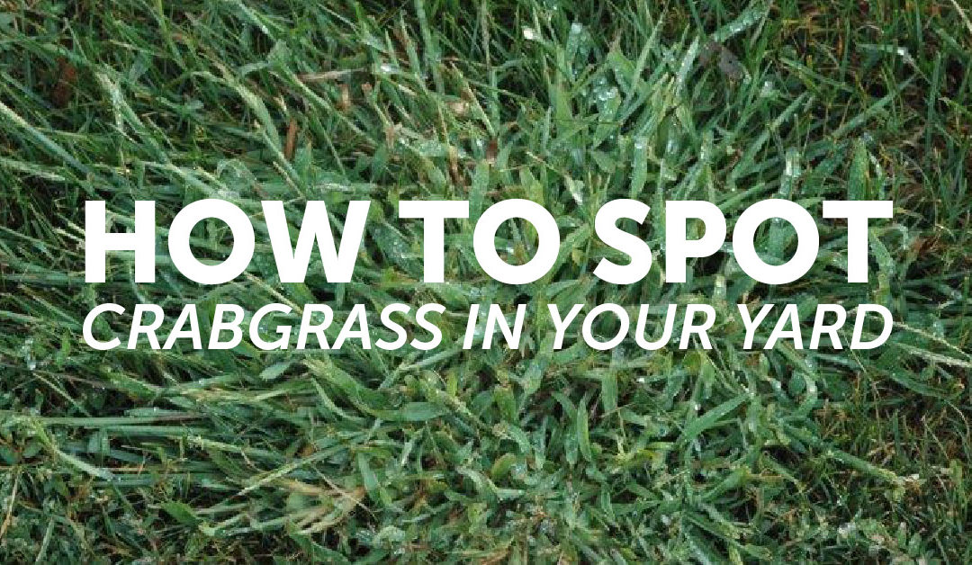 How to Spot Crabgrass In Your Yard                                        5/5(1)