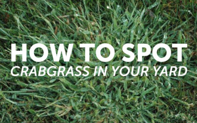 How to Spot Crabgrass In Your Yard
