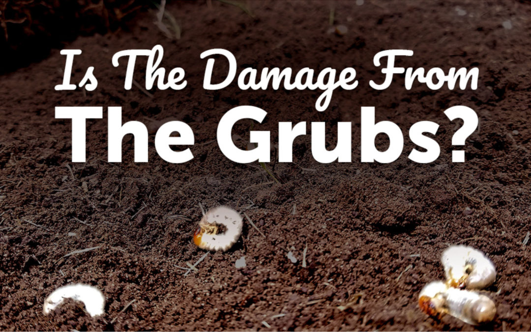 4 Ways to Tell if Lawn Damage is Grub Damage No ratings yet.