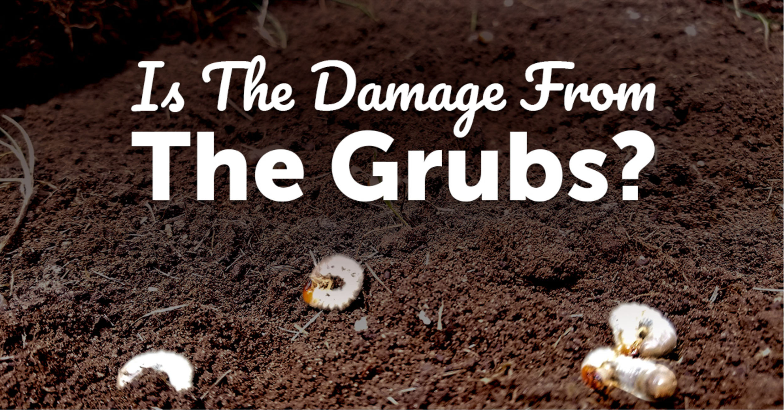 4 Ways To Tell If Lawn Damage Is Grub Damage Lawn Pride